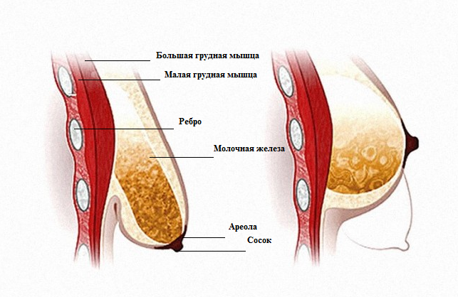 Non-surgical increase of penis