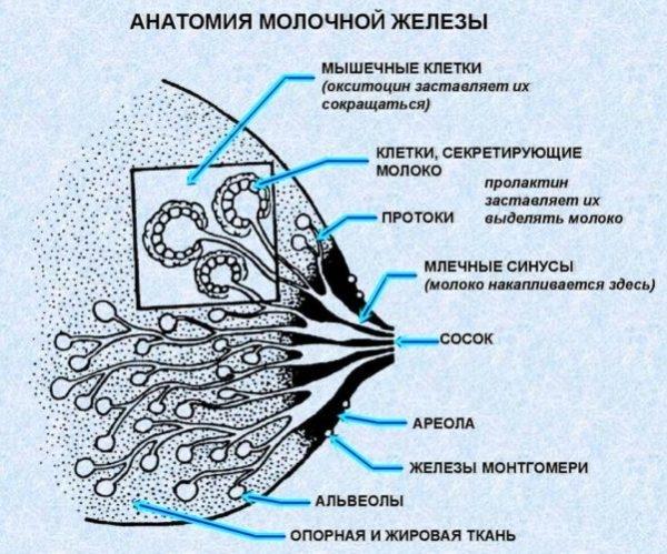 железы монтгомери
